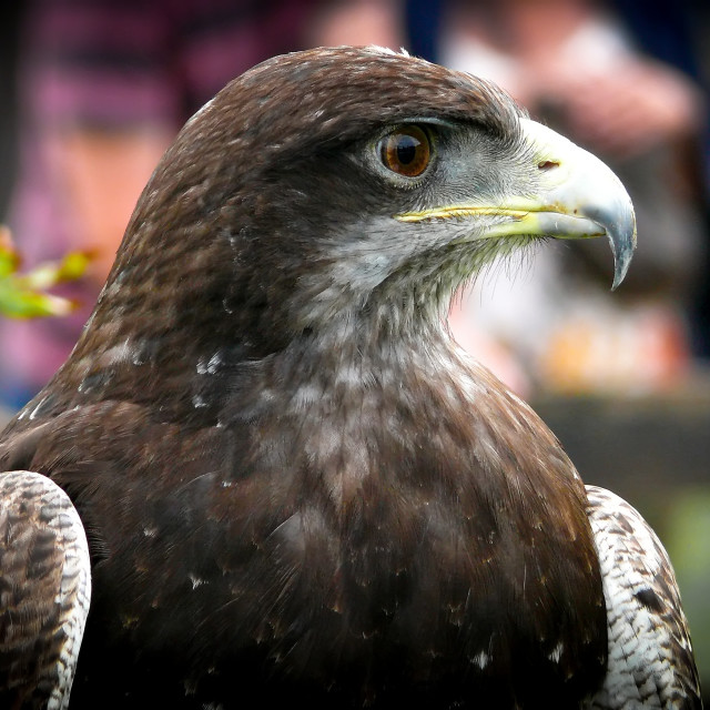 """Black-chested buzzard-eagle portrait"" stock image"