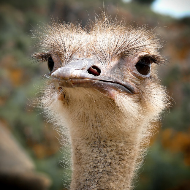 """""""Ostrich head"""" stock image"""