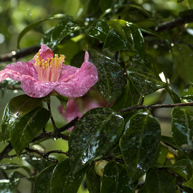 """Lake Como,Villa Carlotta, camellia."" stock image"