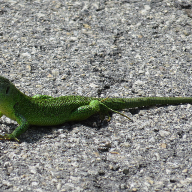 """lizard on the way"" stock image"