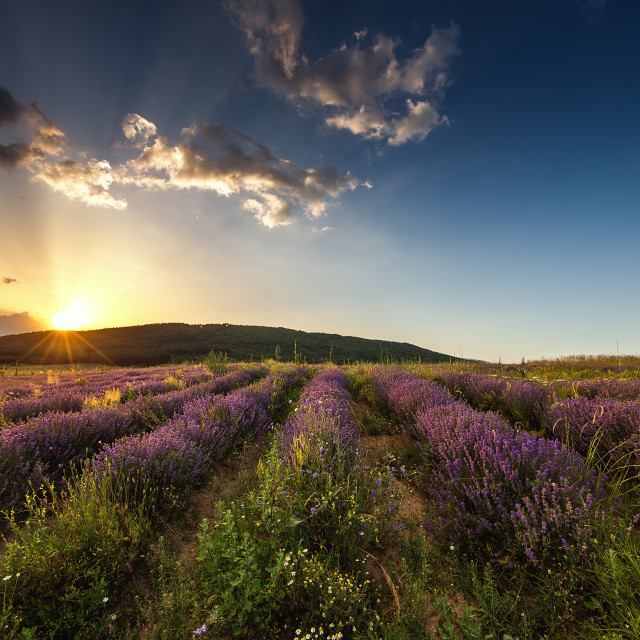 """""""Lavender flower blooming fields in endless rows. Sunset shot."""" stock image"""
