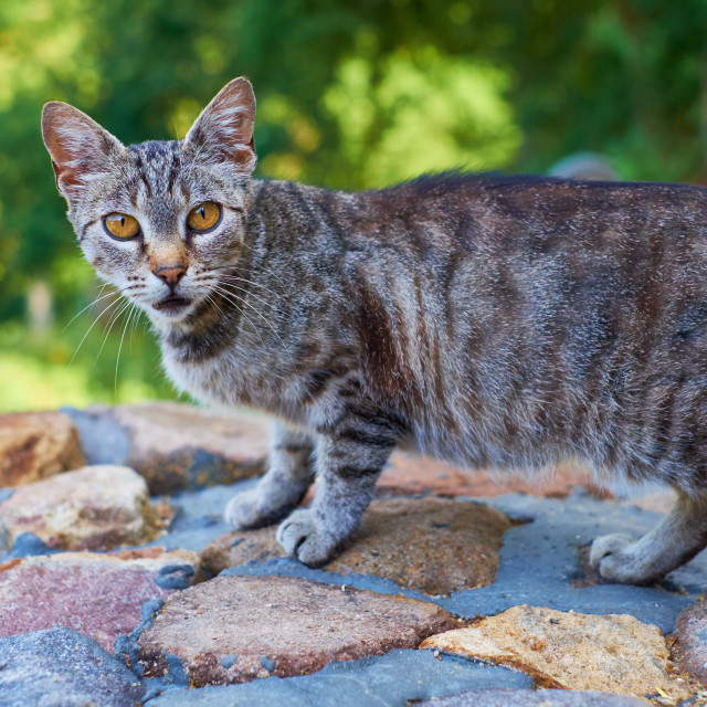 """""""The orange-eyed cat"""" stock image"""