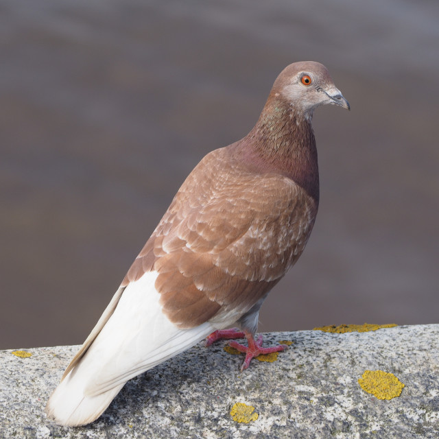 """Pigeon bird animal"" stock image"