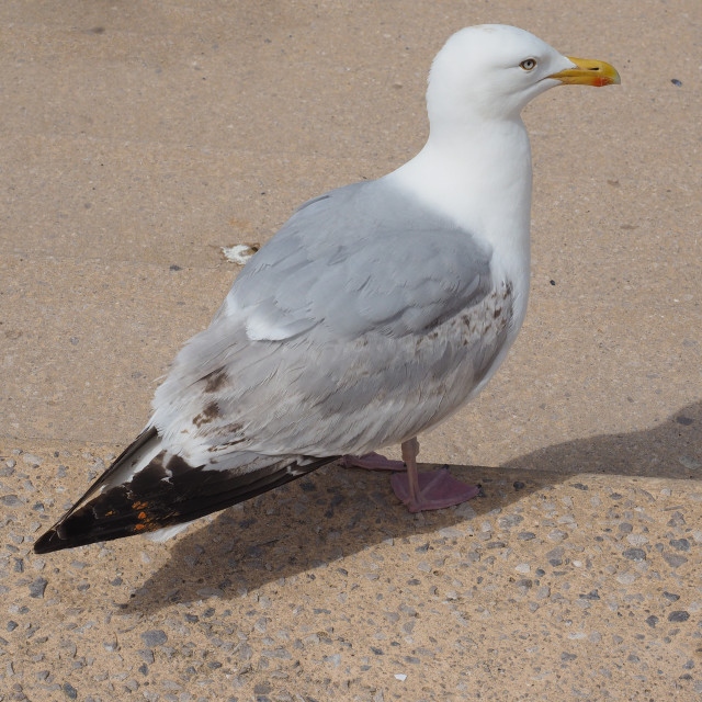 """Seagull bird animal"" stock image"