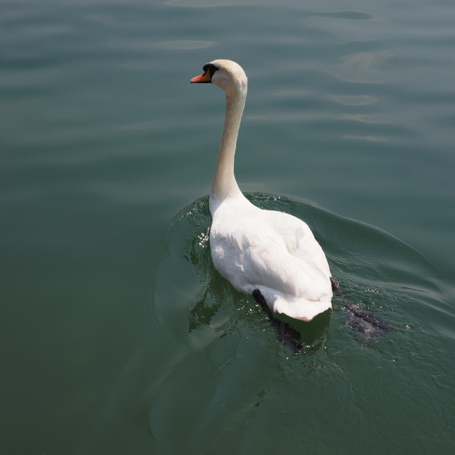 """White Swan bird animal"" stock image"