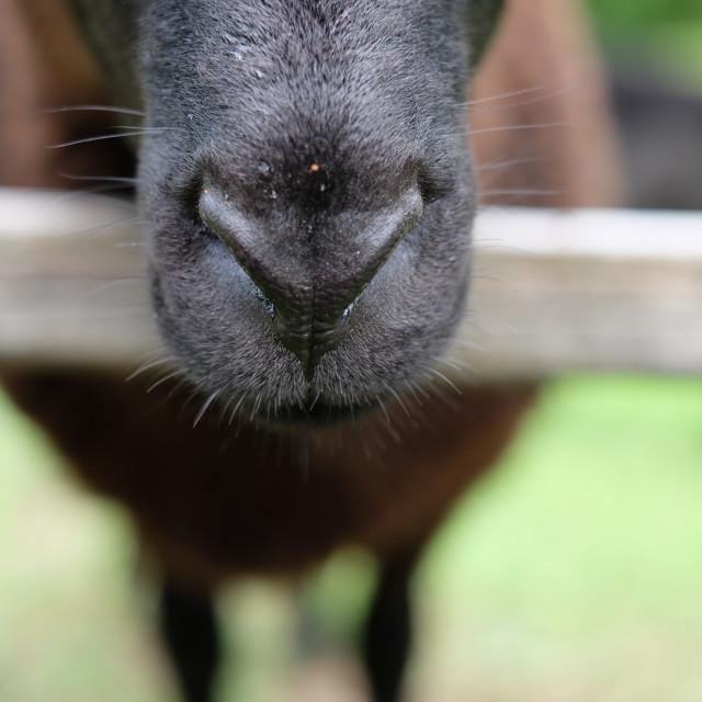 """Black sheep's nose"" stock image"