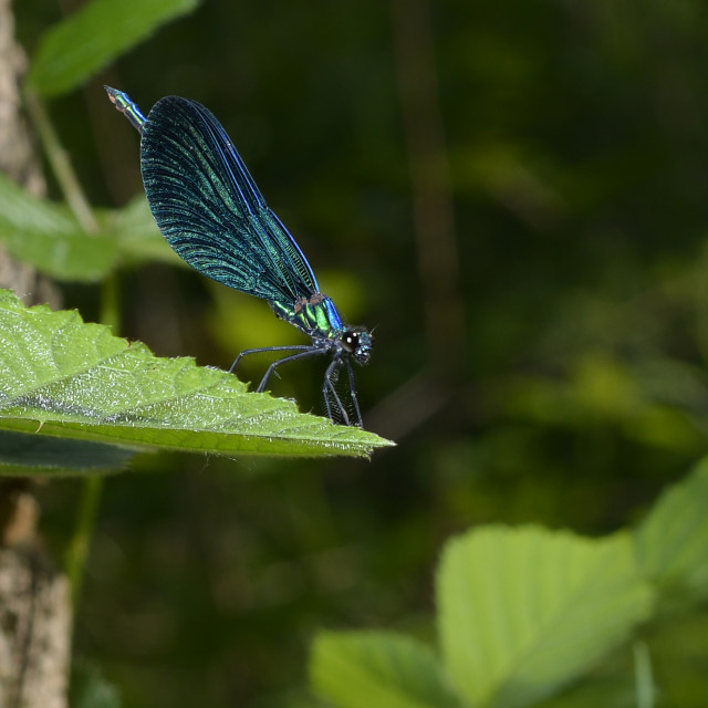 """dragonfly on a leaf."" stock image"
