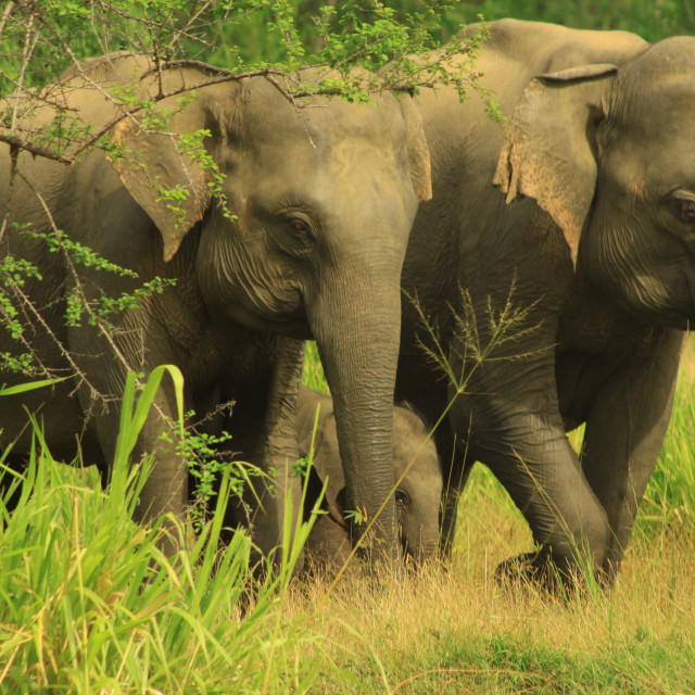 """Elephant Family, Minneriya National Park - Sri Lanka"" stock image"