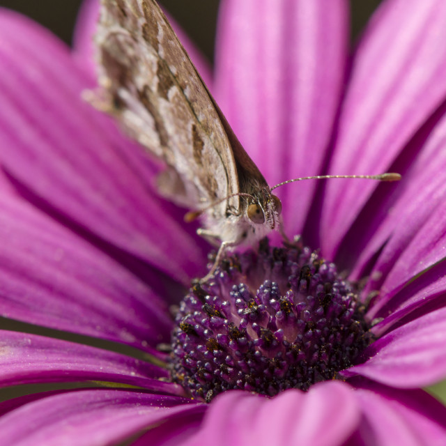 """""""butterfly drinking nectar"""" stock image"""