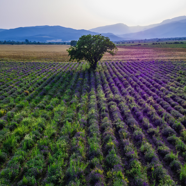 """""""Aerial view of a landscape with lavender field"""" stock image"""