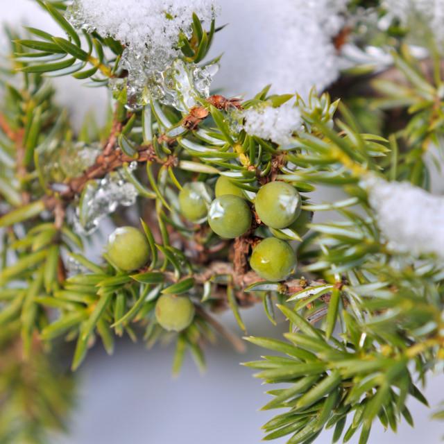 """""""juniper berries"""" stock image"""