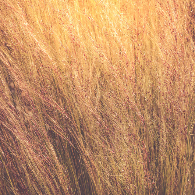 """Grasses"" stock image"