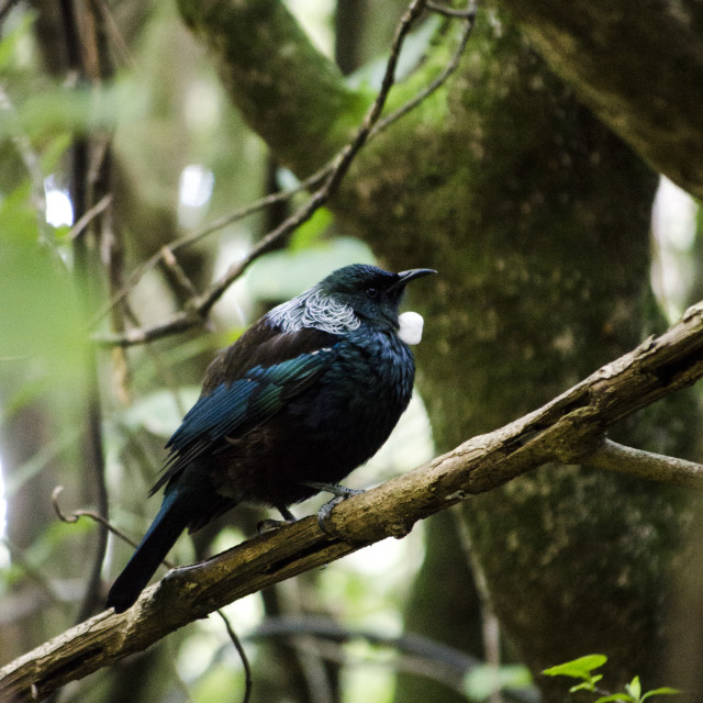 """Tui in the Woods"" stock image"