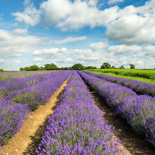 """""""Lavender Fields in Somerset"""" stock image"""