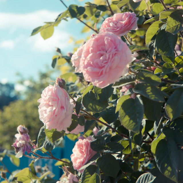 """""""Pale pink wild roses"""" stock image"""