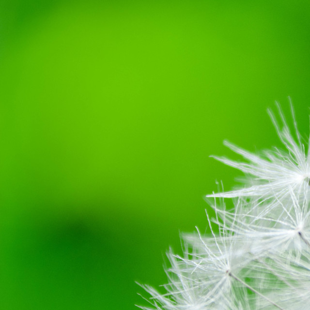 """Dandelion seeds on green background."" stock image"