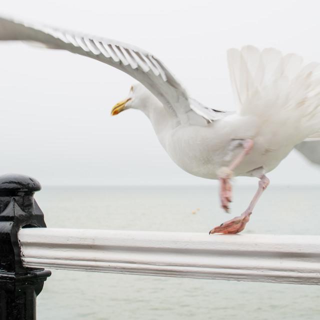 """White Seagull"" stock image"