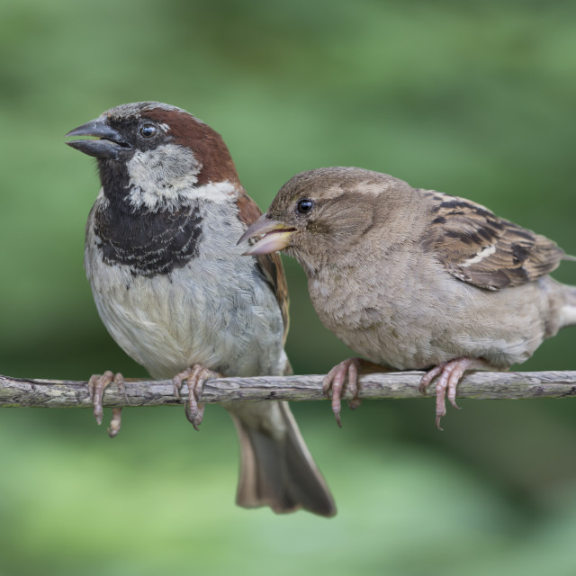 """Two House Sparrows"" stock image"