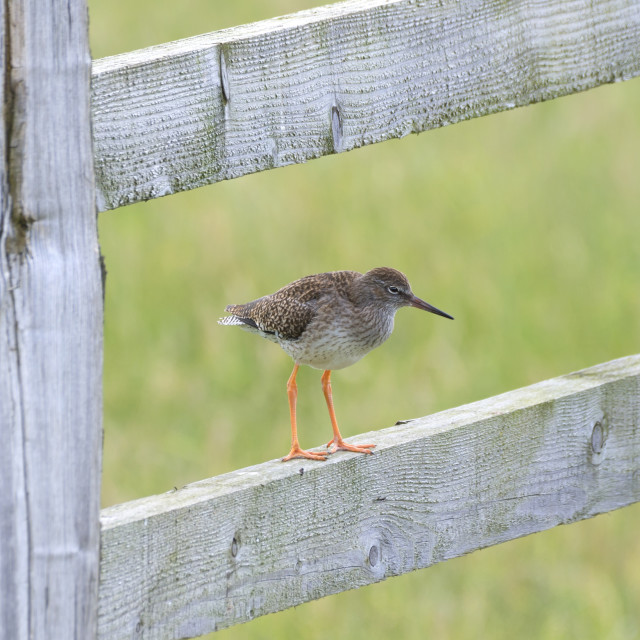 """Redshank Perched On a Gate"" stock image"
