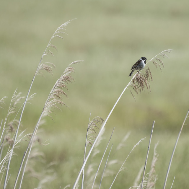 """Reed Bunting Background"" stock image"