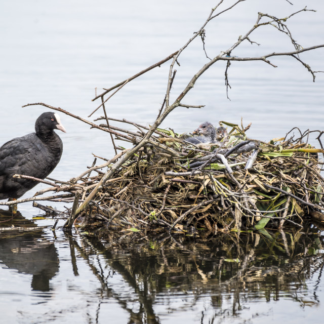 """Coot and Her Nest"" stock image"