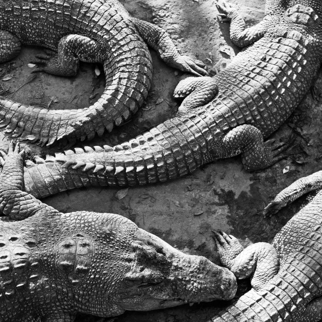 """Group of very large crocodiles, Tuaran Crocodile Park, Borneo"" stock image"