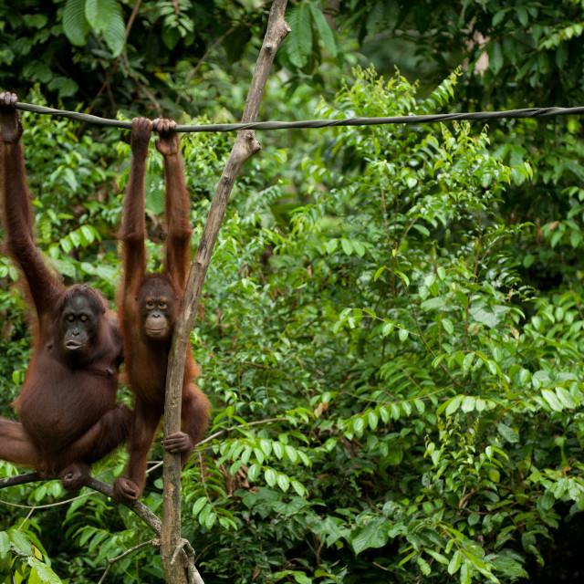"""""""Adult and young Orangutan, Sepilok, Sandakan, Borneo"""" stock image"""