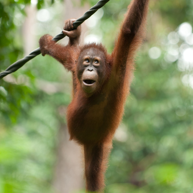 """Orangutan swinging through the jungle, Sepilok, Sandakan, Borneo"" stock image"