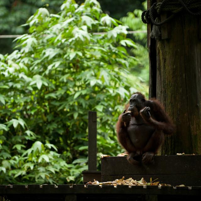 """Orangutan sitting down and eating, Sepilok, Sandakan, Borneo"" stock image"