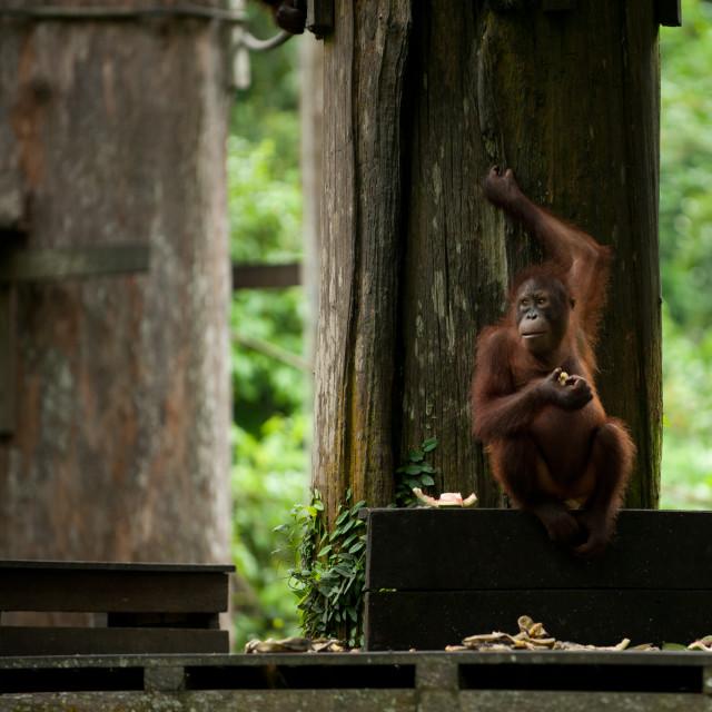 """Orangutan eating and holding on to tree, Sepilok, Sandakan, Borneo"" stock image"