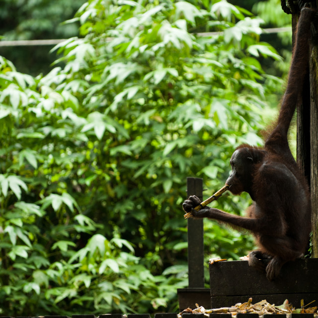 """Orangutan chewing on bamboo, Sepilok, Sandakan, Borneo"" stock image"