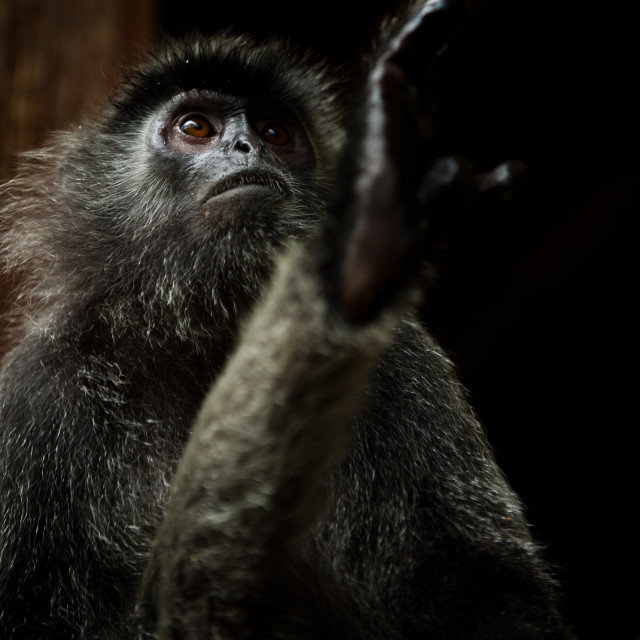 """Silver Leaf Monkey with foot raised, Sepilok, Sandakan, Borneo"" stock image"