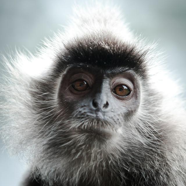 """Silver Leaf Monkey, Sepilok, Sandakan, Borneo"" stock image"