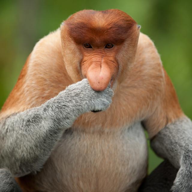 """Proboscis Monkey eating, Sepilok, Sandakan, Borneo"" stock image"
