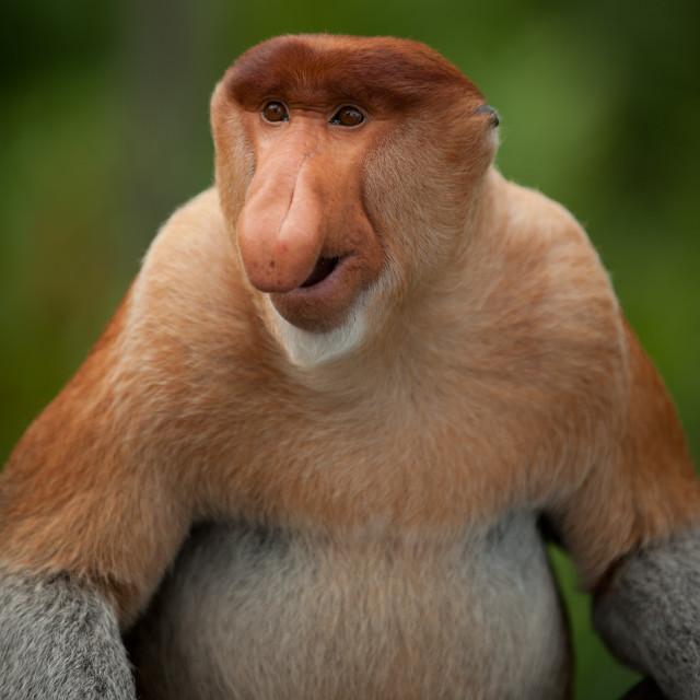 """Smiling Proboscis Monkey, Sepilok, Sandakan, Borneo"" stock image"