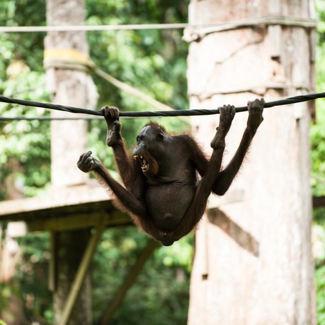 """Orangutan hanging onto rope, Sepilok, Sandakan, Borneo"" stock image"