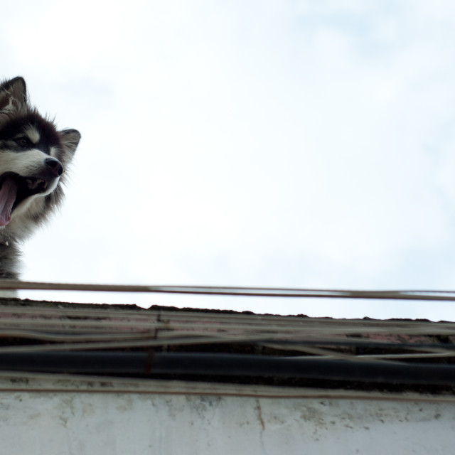 """Husky dog peers over a rooftop, Dali, China"" stock image"
