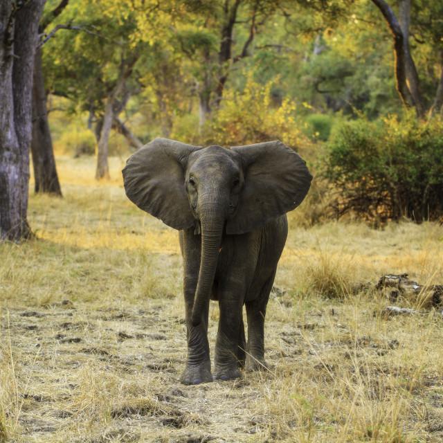 """""""Miombo Elephant"""" stock image"""