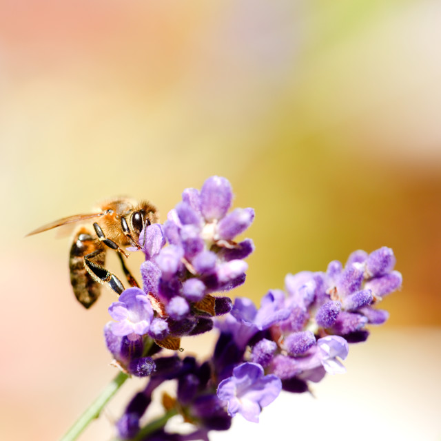 """""""Bee on a flower bloom of purple lavender"""" stock image"""