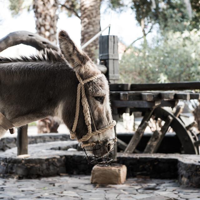 """Donkey Turning Grindstone - Pajaro Square - Fuerteventura - Spain"" stock image"