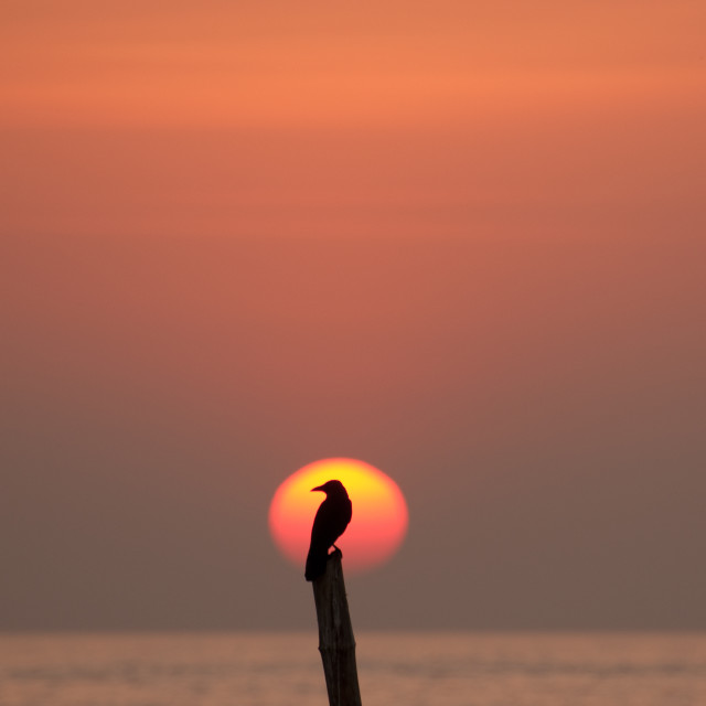 """Blackbird framed by the setting sun, Cochin, India"" stock image"