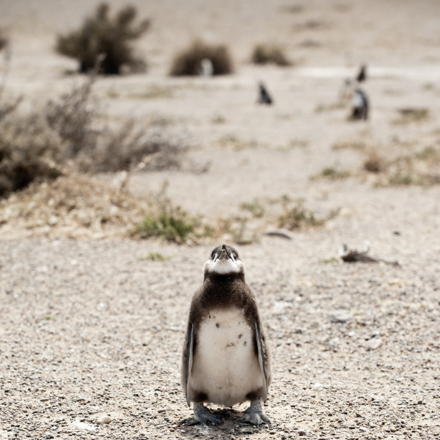 """Solitary Magallen Penguin chick, Punta Tombo, Argentina"" stock image"