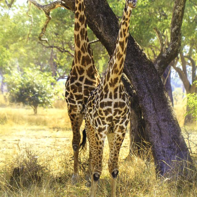 """""""Curious Giraffes"""" stock image"""