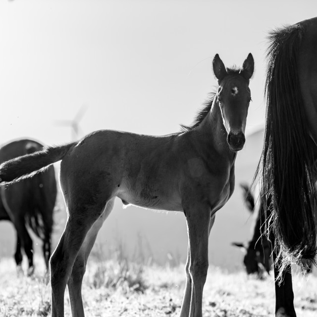 """A young stallion along with his family of horses, free in the wild."" stock image"