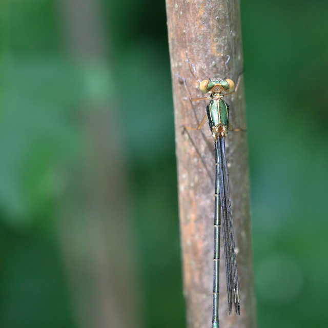 """Dragonfly on bough"" stock image"