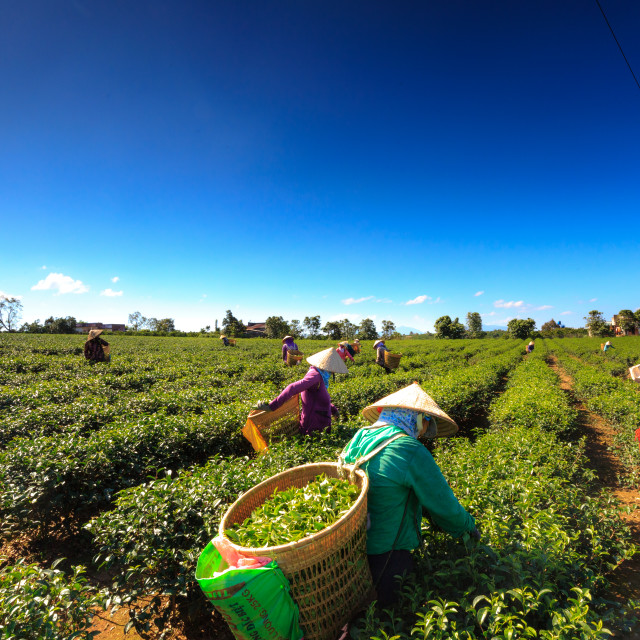 """females with hats harvesting tea on the field in Bao Loc, Lam Dong, Vietnam."" stock image"