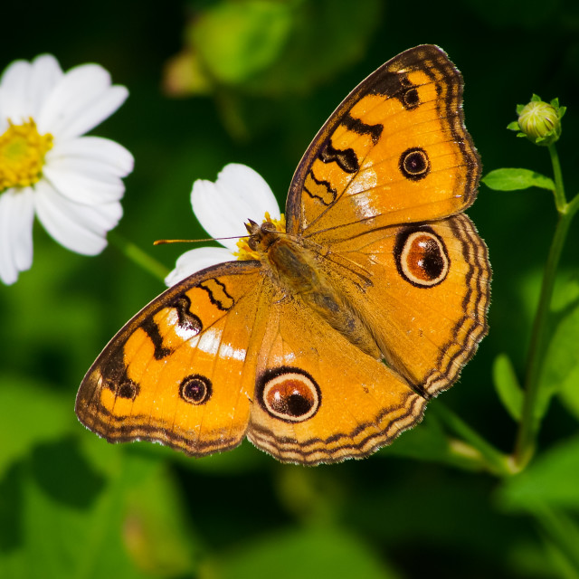 """""""Butterfly with white wild daisy flowers"""" stock image"""
