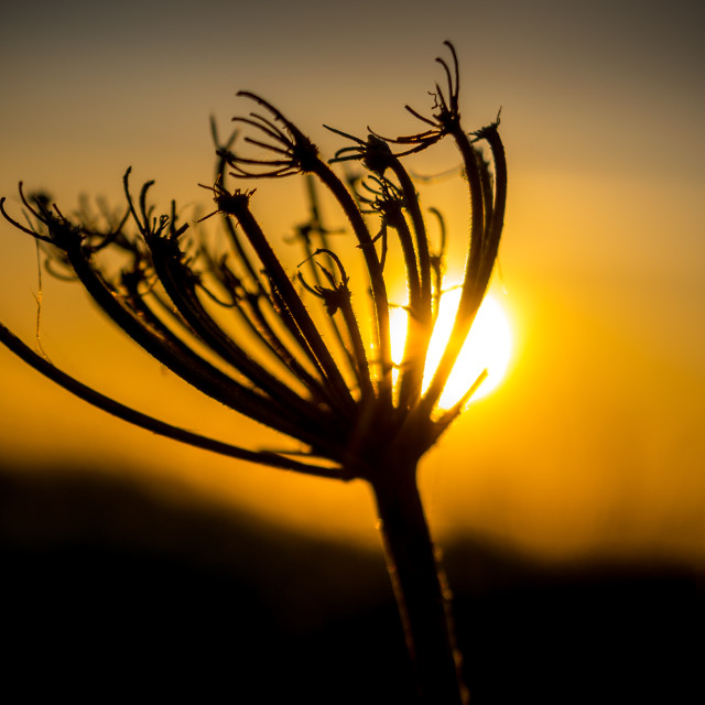 """""""Backlit silhouette of a dandelion at sunset"""" stock image"""