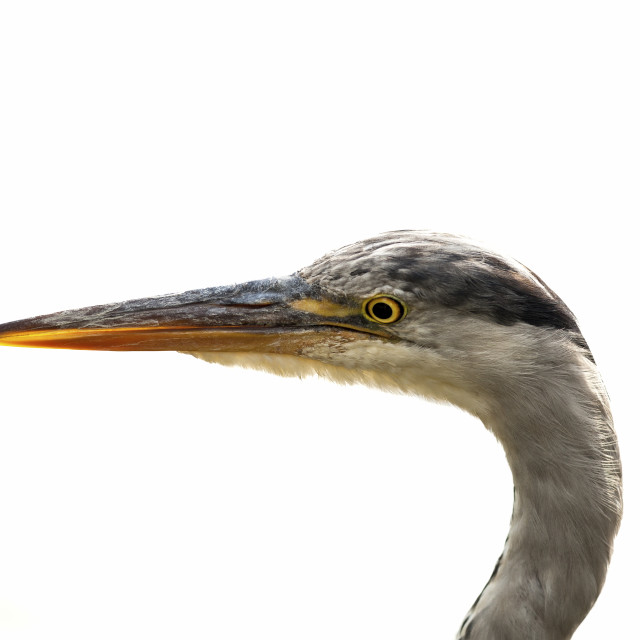 """""""Heron Face with white background"""" stock image"""