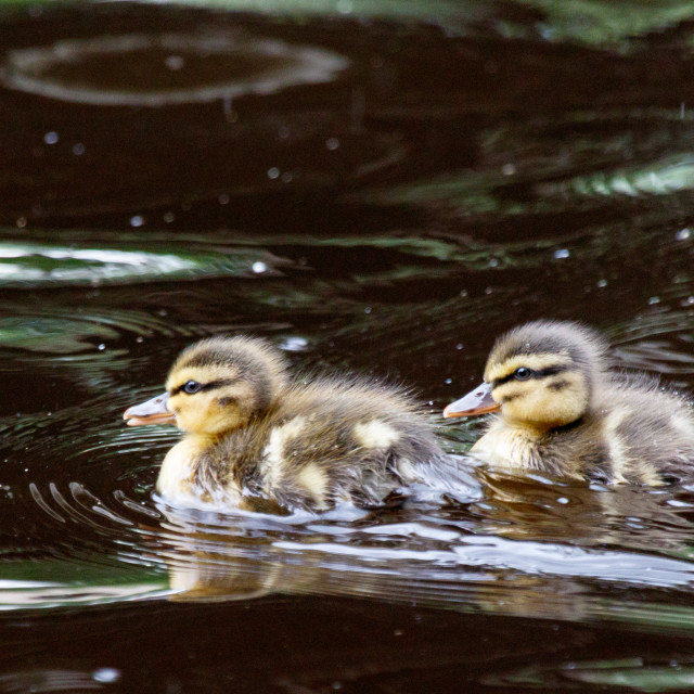"""Ducklings"" stock image"